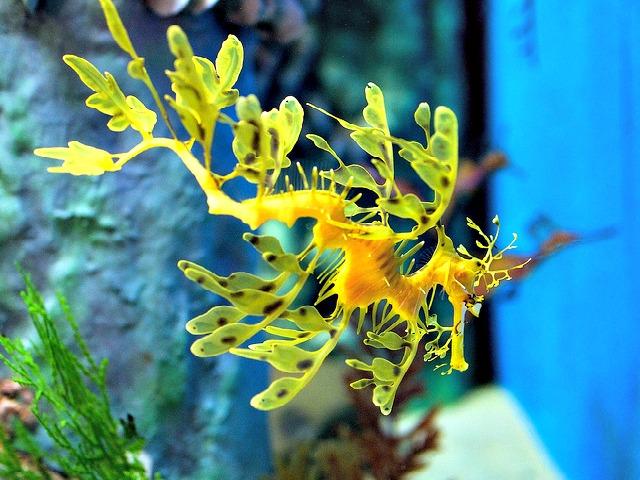 Leafy_sea-dragon